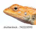 Small photo of Closeup head shot of Oriental garden lizard - Calotes versicolor , Garden lizard , Changeable lizard with isolated white background.