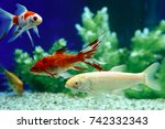 yellow and red goldfish... | Shutterstock . vector #742332343