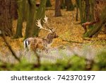Beautiful Fallow Deer Male ...