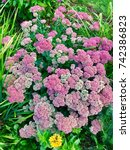 Small photo of A field of achillea flowers blooming in a garden in Topsmead state forest park Litchfield Connecticut United States.