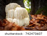 the rare edible lion's mane... | Shutterstock . vector #742473607