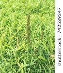 Small photo of Creeping bentgrass, spreading bent or redtop, Agrostis stolonifera, growing in Galicia, Spain