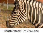 Zebra Behind The Fence  The...
