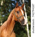 Small photo of Portrait of amazing arabian horse with beautiful halter