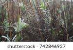 Spiderweb On A Lavender Bush O...