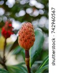 Small photo of Red fruit of the Southern Magnolia Edith Bogue