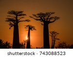baobabs in the setting sun on... | Shutterstock . vector #743088523
