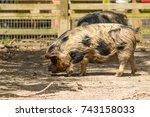 new zealand unique pig  the... | Shutterstock . vector #743158033