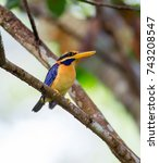 Small photo of Beautiful adult male Rufous-collared kingfisher (Actenoides concretus) sit on the branch in the nature, The southern of Thailand