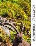 Small photo of Alpine Ibex on a mountainside in late fall.