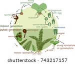 fern life cycle. plant life... | Shutterstock .eps vector #743217157