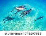 dolphin pod   Shutterstock . vector #743297953