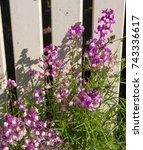 Small photo of Dainty small two lipped blooms of nemesia flowering in late winter add charming bright white and pink color to a drab garden landscape attracting butterflies and bees in winter.