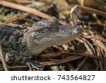 Small photo of Alligator/Baby Alligator/Young alligator in the marsh