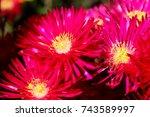 Vygie Flowers