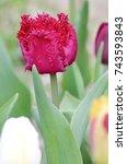 Bud Tulips Fringed Petals Of...