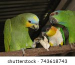 Small photo of Three different parrot species from Amazon, Brazil. Turquoise-fronted amazon (Amazona aestiva) - Festive Parrot (Amazona festiva) - black-headed parrot (Pionites melanocephalus) Psittacidae family.
