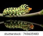 Caterpillar butterfly mahaon...