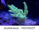 coral in a saltwater aquarium | Shutterstock . vector #743720137