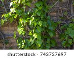 Small photo of Creeping green ivy araliaceae species will cover walls trees and buildings or creep along the ground as it is a hardy plant but needs to be regularly pruned for good control.
