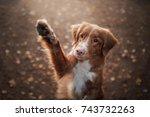 Stock photo cute red dog waving paw breed new scotland retriever autumn 743732263