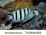 Small photo of Colorful of ornamental marine fish. The Narrow-Banded Sergeant Major, Abudefduf bengalensis, Pomacentridae family, is one of the popular fish to show in marine aquarium tank.