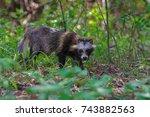 racoon dog in danube delta.... | Shutterstock . vector #743882563