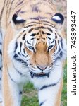 tiger close up head shot image | Shutterstock . vector #743893447