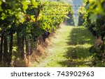 grape harvest | Shutterstock . vector #743902963