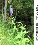 Small photo of Agastache scrophulariifolia in the forest