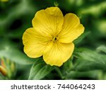 yellow evening flowers on the... | Shutterstock . vector #744064243