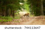 red fox is largest of the true... | Shutterstock . vector #744113647