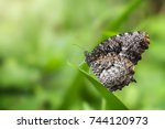 Small photo of Butterfly in nature,Tiger Palmfly (Elymnias nesaea timandra)