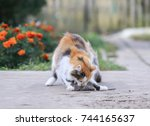house cat caught a grey rat in... | Shutterstock . vector #744165637