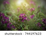 Small photo of Purple Alyssum Flower