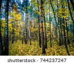 Yellow Autumn Tree. Autumn Tre...