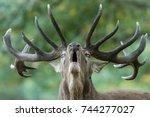 Big Male Deer Howling In...