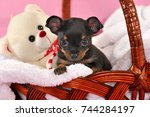 Stock photo cute black and tan short haired russkiy toy russian toy terrier puppy in a basket with white toy 744284197