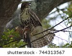Juvenile Red Tailed Hawk With...