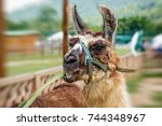 Llama In A Farm Eating...