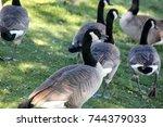 Canada Goose Along Niles Beach...