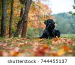 The Giant Schnauzer Breed Dog...