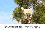 famous moroccan scene   goat on ...   Shutterstock . vector #744497047