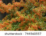 Bright Orange Autumnal Berries...