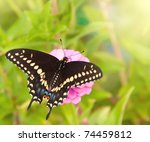 Dorsal View Of A Eastern Black...