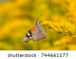 Small photo of American Snout Butterfly collecting nectar from a goldenrod flower.