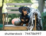 dachshund  pure bred miniature... | Shutterstock . vector #744786997