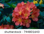 Blossoming Bouquet Clivia...