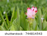 siam tulips blooming in the... | Shutterstock . vector #744814543