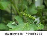 new grape shoots on a vine